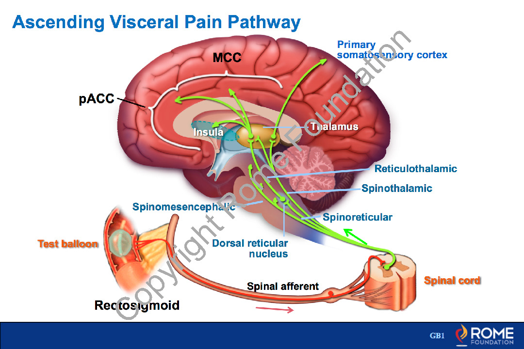 Physiology Motility 13 – Ascending Visceral Pain Pathway – Rome Online