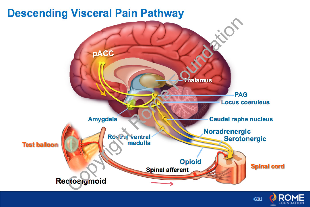 Physiology Motility 14 – Descending Visceral Pain Pathway – Rome Online