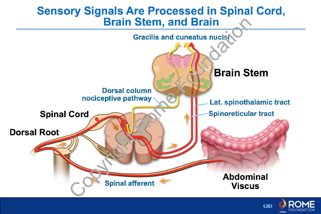 Physiology Motility 15 – Sensory Signals are Processed in Spinal ...