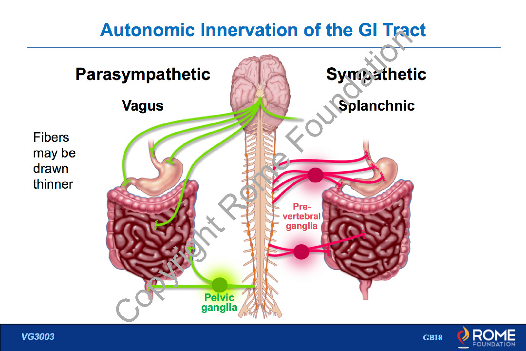 Physiology Motility 25 Autonomic Innervation Of The Gi Tract